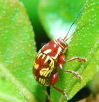 Red and Yellow Beetle by Larah88