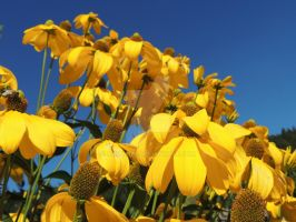 yellow flowers by amitm123