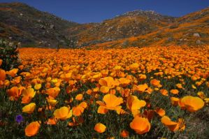 Golden Poppies by surrealswirls