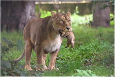 Lioness and Cub 04-98 by Prince-Photography