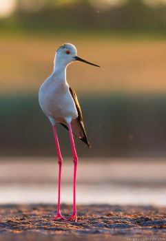 Black-winged Stilt by Sergey-Ryzhkov