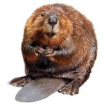 Yall Like Beavers by Tomorroq