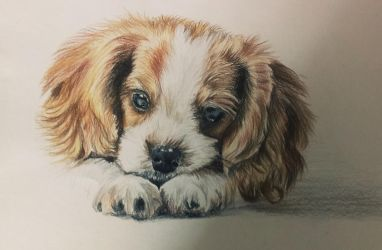 Cavalier King Charles spaniel by donutswithbutter