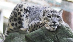 Snow leopard VII by Parides