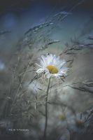 Margerite (II) by Tb--Photography