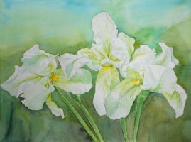 3 white Irises by Vincik