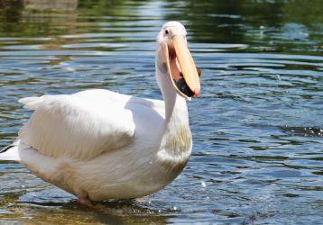 Pelican v Baby duck I by d3lf