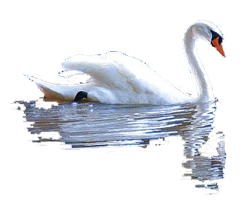 cut out Swan and reflection by SolStock
