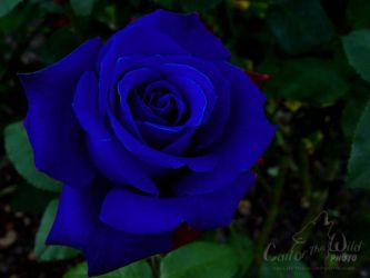 Blue Rose by Briar-Moss