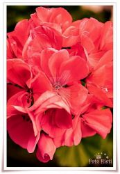 Just red flowers by passionefoto