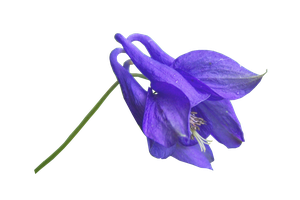 Blue Flower PNG.. by AledJonesDigitalArt