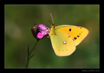 Dark Clouded Yellow by Usabell12