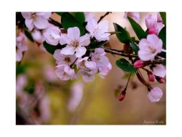 Blossoms by javv556