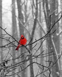 Cardinal in the Snow by littleredelf