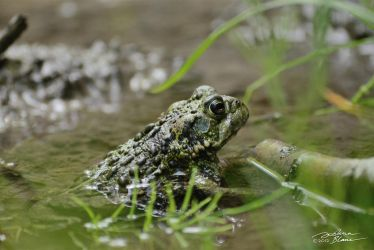 Canadian Toad In Puddle by themanitou