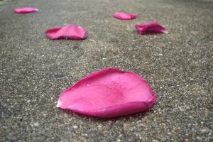 Rose Pedals by viviP
