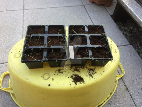 Onions: Pricking Out  by Cooper31