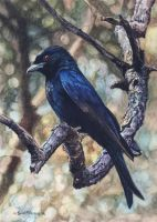 Forktailed Drongo by WillemSvdMerwe