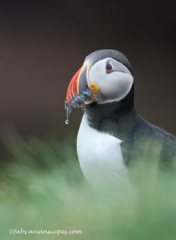 Atlantic Puffin 3 by FForns