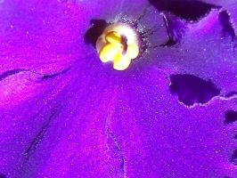 african violet up close by Littlelion225