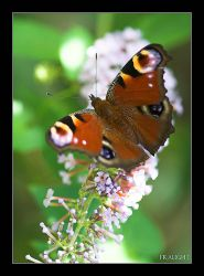 Peacock Butterfly by fraughtuk