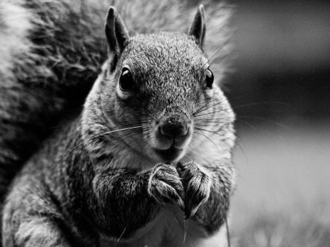 Squirrel Nutkins BW by brpestilence