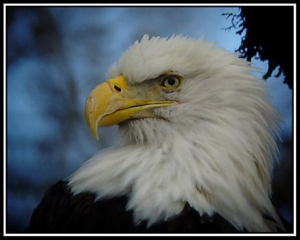 Skagit Bald Eagle v1 by swashbuckler