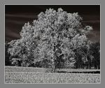 Lone tree in BW. IRD200-1980, with story by harrietsfriend