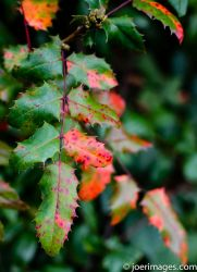 Holly fall by joerimages