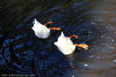 Synchronized Swimming Ducks by Yukilefay