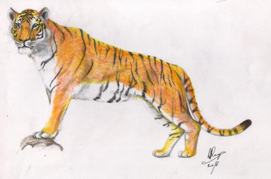 Royal Bengal Tiger by drion4