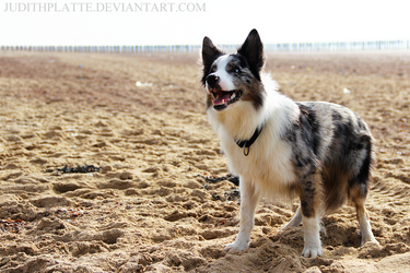 Border Collie by JudithPlatte