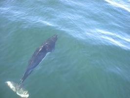 Dall's Porpoise 2 by Pteryxx