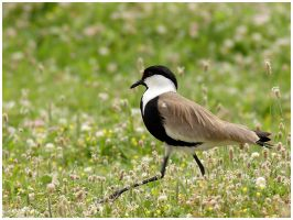 Spur-winged Plover by nakitez