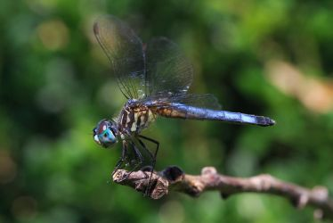 Blue Dasher by BlackRoomPhoto