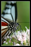 Nice Butterfly by Keith-Killer