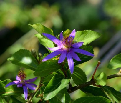 Lavender Star Flower by Toniasis