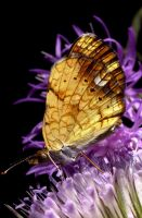 butterfly on thistle by kl61