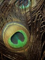 peacock feathers by MorganaVasconcelos