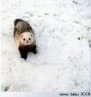 Snow ferret by NissanLady