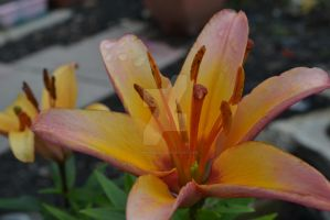 Wet lilly 1. by aidheanalba