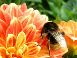 Bee and Flower 4 by mnjul