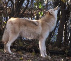 Gray Wolf Stock 6 by HOTNStock