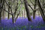 the bluebell wood by adamlack