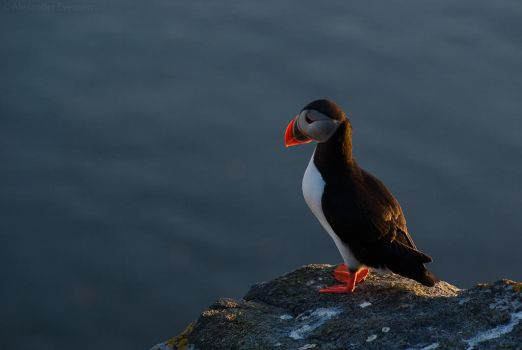 Atlantic Puffin 11 by netrex