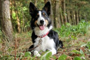 Lola, working border collie by shetanka