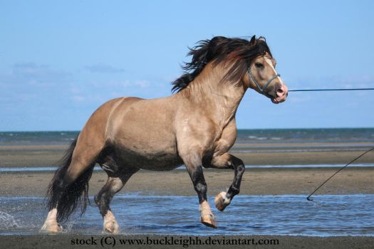 Buckskin welsh pony canter stock 7 by buckleighh