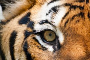 The Eye of the Tiger by Kiara-Vestigium