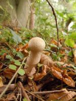 Lycoperdon excipuliforme by myrnamarinda