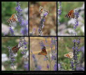 Painted Lady Butterfly On Lavender Stock Pack 1 by Esmeralda-stock
